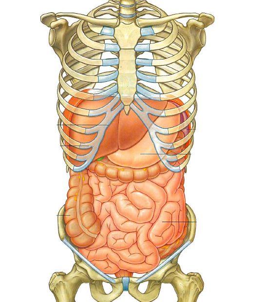 anatomia addome