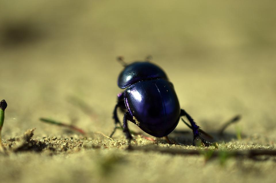 beetle-4085098_960_720