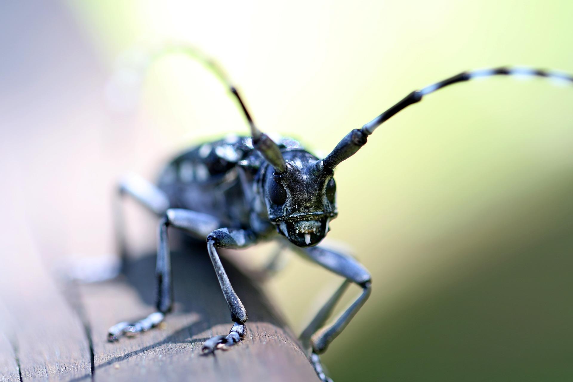 3 alrak-long-horned-beetle-2398584_1920